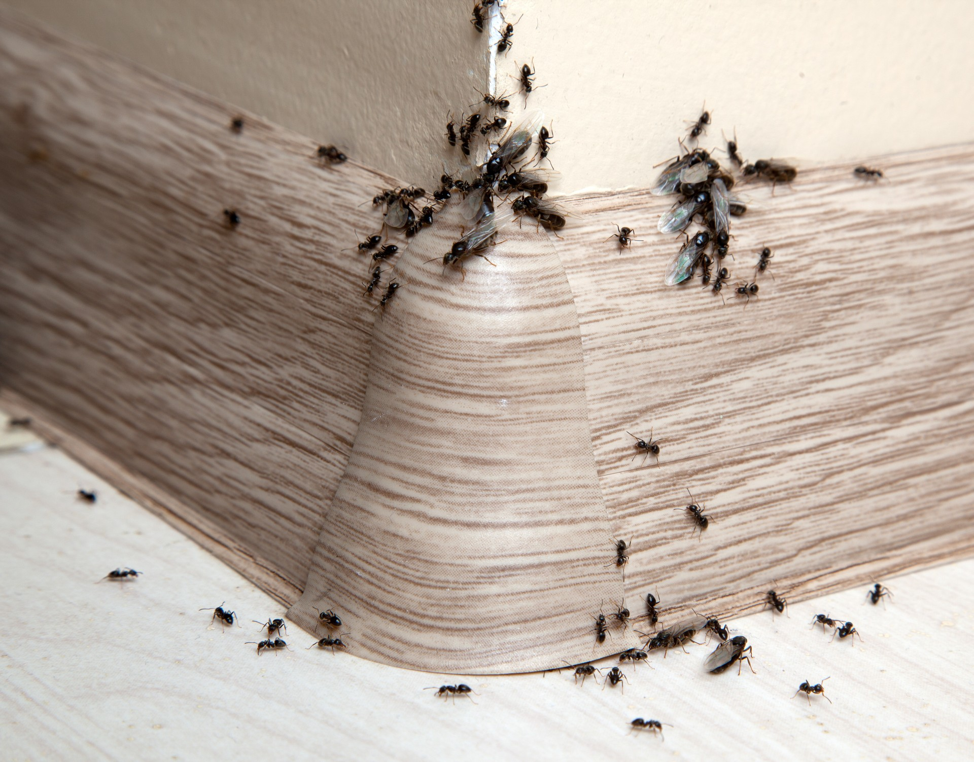 Ant Infestation, Pest Control in Chessington, Hook, KT9. Call Now 020 8166 9746