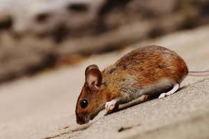 Mice Exterminator, Pest Control in Chessington, Hook, KT9. Call Now 020 8166 9746