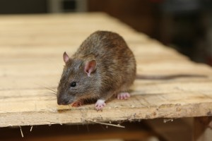 Rodent Control, Pest Control in Chessington, Hook, KT9. Call Now 020 8166 9746