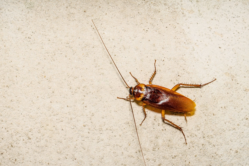 Cockroach Control, Pest Control in Chessington, Hook, KT9. Call Now 020 8166 9746