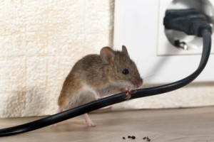 Mice Control, Pest Control in Chessington, Hook, KT9. Call Now 020 8166 9746